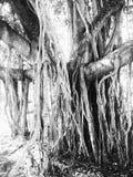 Baniano Imagenes de archivo