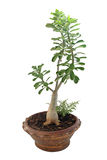 Baniano de los bonsais aislado en blanco Imagen de archivo