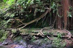 Baniano en la selva de Sumatra Fotos de archivo