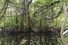 Baniano y arroyo en la selva Fotografía de archivo