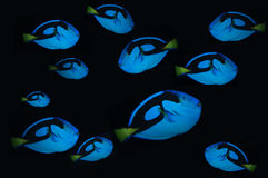Bank of blue clown fish. Isolated on dark black background Stock Image