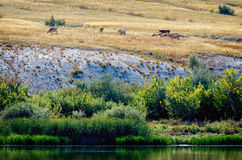 Bank of Don river in Donskoi national park with cows graze among white chalk hills. Green grass on other side of river Royalty Free Stock Photo
