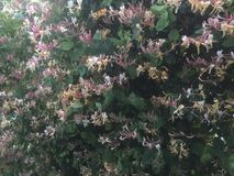 A bank of honeysuckle flowers. Two tone flowers on a shrub Stock Photography