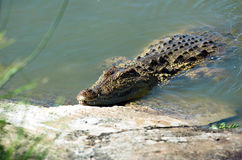 bank krokodilfloden arkivfoto