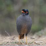 Bank Myna Stock Image