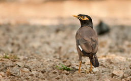 Bank Myna Royalty Free Stock Image