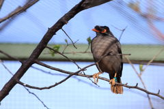 Bank myna Royalty Free Stock Images