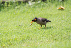 Bank myna bird eating worm Royalty Free Stock Images