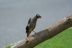 Bank myna bird standing on a dry bamboo Royalty Free Stock Image