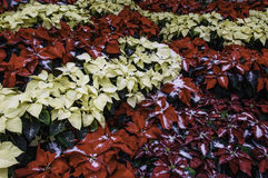Bank of Poinsettieas Royalty Free Stock Photography
