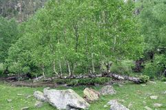 On the bank of the river, from one fallen trunk, many birches ha royalty free stock image
