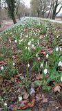 Bank of snowdrops Royalty Free Stock Images