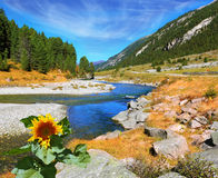 On the bank of the stream grows sunflower Royalty Free Stock Images