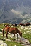 bank strumień ii dzikie konie, fotografia royalty free