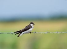Bank Swallow royalty free stock images