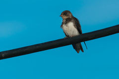 Bank Swallow Stock Images