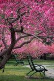 Bank unter Pfirsichbaum im Frühjahr Stockbilder