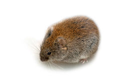 Bank vole Royalty Free Stock Photo