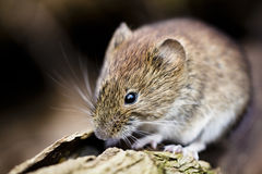 Bank vole Royalty Free Stock Photography