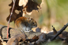Bank vole in autumn forest Stock Image