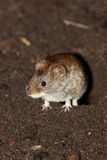 Bank Vole (Clethrionomys glareolus) Stock Images