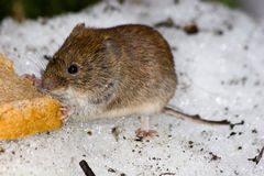 Bank Vole (Clethrionomys glareolus) Royalty Free Stock Photography