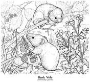Bank Vole Clethrionomys glareolus stock illustration