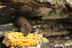 Bank Vole Clethrionomys glareolus with a corn on the cob that it is eating. Royalty Free Stock Photography