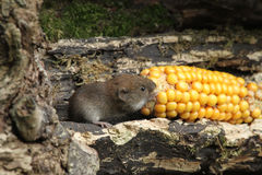 Bank Vole Clethrionomys glareolus with a corn on the cob that it is eating. Royalty Free Stock Photos