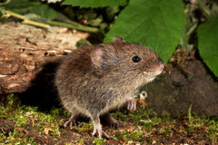 Bank Vole - Clethrionomys glareolus Stock Images