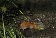Bank vole drinking. From muddy puddle Stock Image