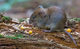 Bank vole feeds on seeds and other food on old mossy stag stock images