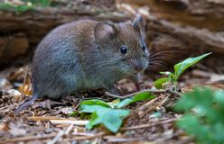 Bank vole feeding on different seeds at forest litter ground stock image