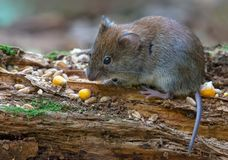 Bank vole feeds on corn seeds and other food on old stag. Bank vole eats corns and other food on aged dry branch on forest ground royalty free stock photography