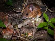 Bank Vole Stock Photography