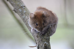 Bank Vole (Myodes Glareolus) Stock Image