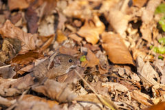 Bank vole / Myodes glareolus camouflaged in autumn Stock Images