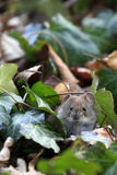Bank vole / Myodes glareolus Stock Photo