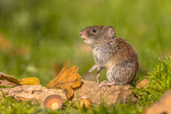 Bank vole in natural autumn habitat Stock Photos