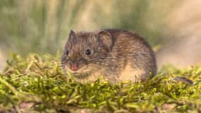 Bank vole in natural habitat Royalty Free Stock Photography