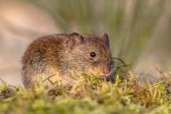 Bank vole in natural vegetation Royalty Free Stock Photo