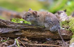 Bank vole sits on old tree trunk in summer wood stock image