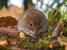 Bank vole sitting on forest floor Royalty Free Stock Images
