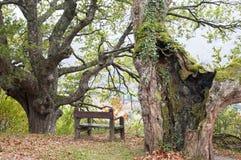 Bank zwischen zwei Jahrhunderte alten Bäumen Lizenzfreie Stockbilder