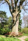 Banken rond een grote boom in een park stock afbeeldingen