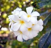 Bankiet biali okwitnięcie kwiaty Fotografia Royalty Free