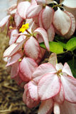 Bankok rose shrub in flower Royalty Free Stock Photography