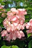 Bankok rose shrub in flower Stock Image