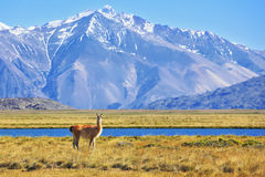On the banks of grazing llama Royalty Free Stock Photography