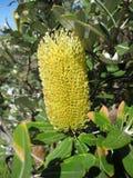 Banksia Foto de archivo libre de regalías